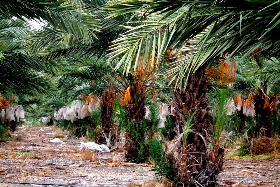 מטעי תמרים בעמק הירדן